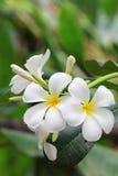 plumeria λουλουδιών Στοκ Φωτογραφία