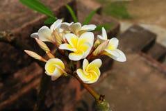 plumeria λουλουδιών Στοκ εικόνες με δικαίωμα ελεύθερης χρήσης