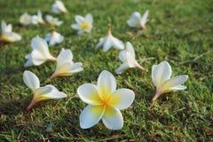 Plumeria, λουλούδι Frangipani με το υπόβαθρο χορτοταπήτων χλόης Στοκ εικόνα με δικαίωμα ελεύθερης χρήσης