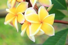 plumeria λουλουδιών κίτρινο Στοκ εικόνες με δικαίωμα ελεύθερης χρήσης