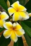 plumeria λουλουδιών κίτρινο Στοκ Φωτογραφίες