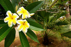 plumeria λουλουδιών κίτρινο Στοκ Φωτογραφία