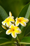 plumeria λουλουδιών κίτρινο Στοκ Εικόνες