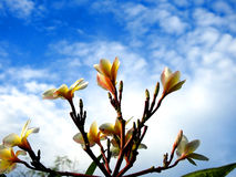 plumeria λουλουδιών κίτρινο Στοκ φωτογραφία με δικαίωμα ελεύθερης χρήσης