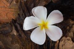 Plumeria λουλουδιών με το ξύλινο υπόβαθρο ξυλείας Στοκ Φωτογραφίες