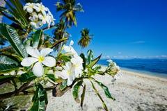 plumeria λουλουδιών παραλιών Στοκ εικόνες με δικαίωμα ελεύθερης χρήσης