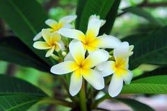 plumeria λουλουδιών τροπικό Στοκ Εικόνες
