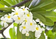 plumeria λουλουδιών τροπικό Στοκ Φωτογραφίες
