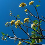 Plumeria πέρα από το μπλε ουρανό Στοκ Φωτογραφία