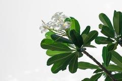 Plumeria που απομονώνεται άσπρο Στοκ Εικόνες