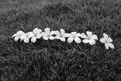 Plumeria που τίθεται στις πράσινες εγκαταστάσεις Στοκ φωτογραφία με δικαίωμα ελεύθερης χρήσης