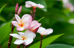 Plumeria, ροζ στοκ εικόνες με δικαίωμα ελεύθερης χρήσης