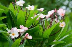 Plumeria, ροζ Στοκ Εικόνα