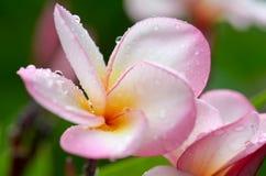 Plumeria, ροζ στοκ φωτογραφίες