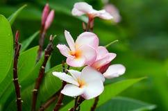 Plumeria, ροζ Στοκ Εικόνες