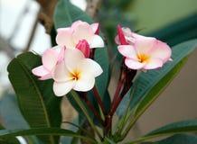 Plumeria ρόδινη και άσπρη άνθιση λουλουδιών Frangipani τροπική στο τ Στοκ Εικόνες