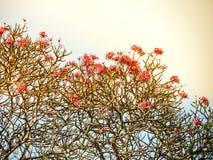 Plumeria, ρόδινη ροδανιλίνη Frangipani και ο ουρανός, κλήση Lee της Ταϊλάνδης Στοκ εικόνα με δικαίωμα ελεύθερης χρήσης