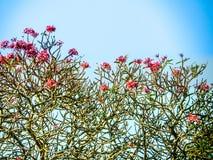 Plumeria, ρόδινη ροδανιλίνη Frangipani και ο ουρανός, κλήση Lee της Ταϊλάνδης Στοκ Εικόνες