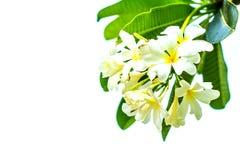 Plumeria σε μια άσπρη ανασκόπηση Στοκ εικόνες με δικαίωμα ελεύθερης χρήσης