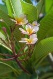 Plumeria σε φυσικό Στοκ φωτογραφίες με δικαίωμα ελεύθερης χρήσης