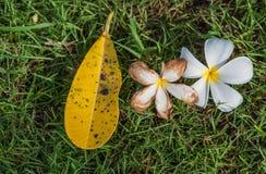 Plumeria σε φυσικό Στοκ Εικόνες