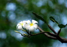 plumeria Σινγκαπούρη obtusa Στοκ Φωτογραφίες