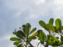 Plumeria στην κορυφή του δέντρου και πολλά σύννεφο Στοκ φωτογραφία με δικαίωμα ελεύθερης χρήσης