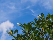 Plumeria στην κορυφή του δέντρου και του μπλε ουρανού Στοκ εικόνα με δικαίωμα ελεύθερης χρήσης