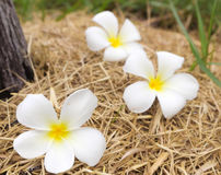Plumeria στην ξηρά χλόη, εκλεκτική εστίαση Στοκ Φωτογραφία