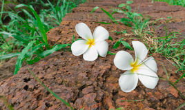Plumeria στην πέτρα στο πάρκο φύσης, εκλεκτής ποιότητας χρώμα Στοκ Εικόνες