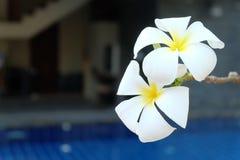 Plumeria στην πισίνα Στοκ Εικόνα