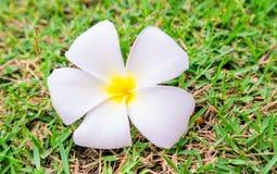 Plumeria στην πράσινη χλόη, εκλεκτική εστίαση, λουλούδια στην πράσινη χλόη Στοκ φωτογραφίες με δικαίωμα ελεύθερης χρήσης