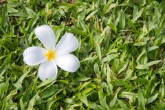 Plumeria στην πράσινη χλόη στην ημέρα Στοκ Φωτογραφίες