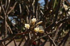 Plumeria στην Ταϊλάνδη Στοκ εικόνες με δικαίωμα ελεύθερης χρήσης