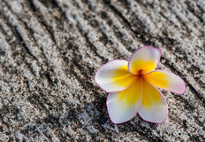 Plumeria στη συγκεκριμένη επιφάνεια Στοκ φωτογραφία με δικαίωμα ελεύθερης χρήσης