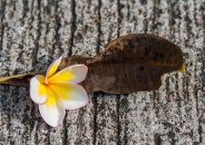 Plumeria στη συγκεκριμένη επιφάνεια Στοκ φωτογραφίες με δικαίωμα ελεύθερης χρήσης