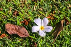 Plumeria στη χλόη Στοκ εικόνες με δικαίωμα ελεύθερης χρήσης