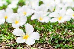 Plumeria στη χλόη Στοκ φωτογραφία με δικαίωμα ελεύθερης χρήσης