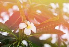 Plumeria στον κήπο λουλουδιών Στοκ φωτογραφία με δικαίωμα ελεύθερης χρήσης