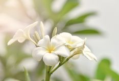 Plumeria στον κήπο λουλουδιών Στοκ Φωτογραφία