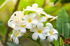 Plumeria στον κήπο λουλουδιών Στοκ εικόνα με δικαίωμα ελεύθερης χρήσης