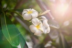 Plumeria στον κήπο λουλουδιών Στοκ Εικόνες