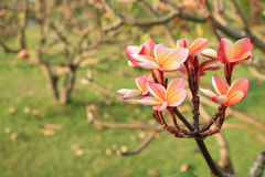 Plumeria στον κήπο Στοκ φωτογραφία με δικαίωμα ελεύθερης χρήσης