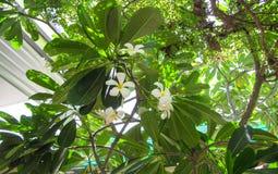Plumeria στον κήπο Στοκ φωτογραφίες με δικαίωμα ελεύθερης χρήσης