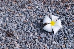 Plumeria στο έδαφος Στοκ Φωτογραφία
