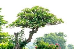 Plumeria στο δέντρο plumeria στον κήπο Στοκ Εικόνες