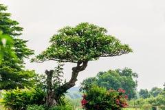 Plumeria στο δέντρο plumeria στον κήπο Στοκ Φωτογραφία
