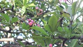 Plumeria στο δέντρο plumeria, τροπικά λουλούδια frangipani Μπαλί Ινδονησία απόθεμα βίντεο