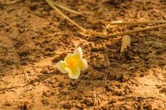 Plumeria στο έδαφος Στοκ Εικόνες