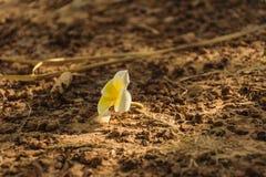 Plumeria στο έδαφος Στοκ Φωτογραφίες